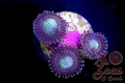 Fairy Muncher Palythoa Zoas Zoanthids 3 Polyp Soft Coral Frag High End