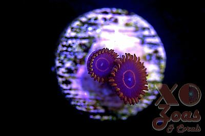 Red Hornets Zoas Zoanthids 2 Polyp Soft Coral Frag Plug Marine High End
