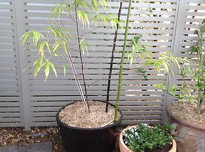Three Established black bamboo Plants in large pots