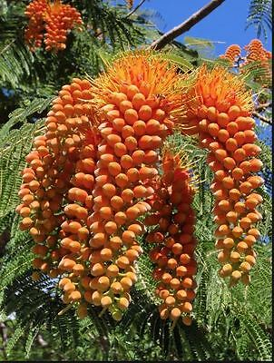 "Rare collectable exotic. Colvillea racemosa ""Colvills Glory"" seedling."