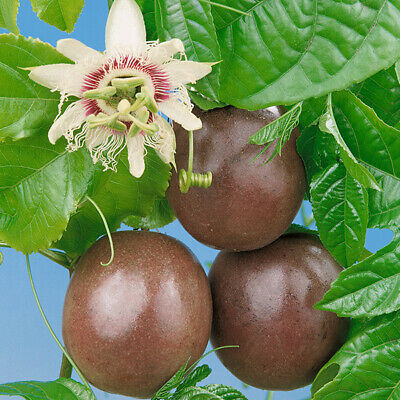 Passion Fruit Vine Edulis x20 seeds