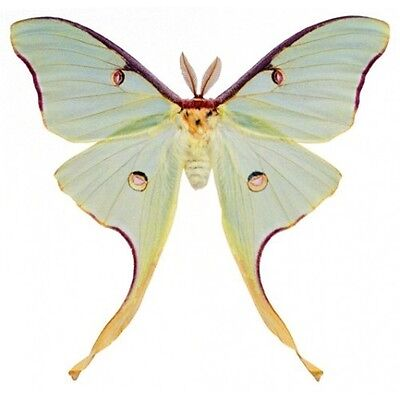 Taxidermy - real papered insects : Saturnidae : Actias luna