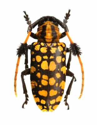 Taxidermy - real papered insects : Cerambycidae : Aristobia approximatorPAIR