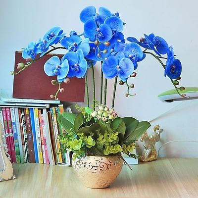 Rare Orchid Bonsai Blue Butterfly Orchid Seeds Beautiful Phalaenopsis 20 PCS Fre