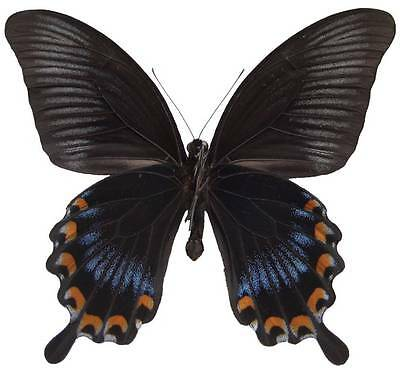 Taxidermy - real papered insects : Papilionidae : Papilio ascalaphus fukuyamai