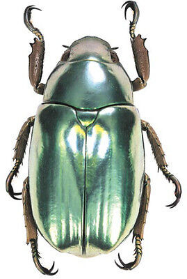 Taxidermy - real papered insects : Rutelidae : Chrysina batesi