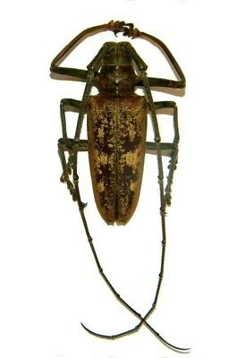 Taxidermy - real papered insects : Cerambycidae : Batocera gerstaeckeri 50/55mm