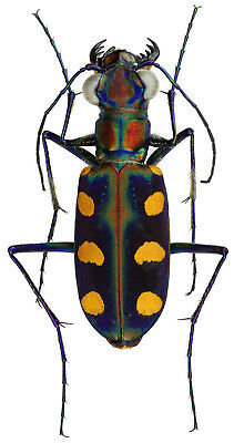 Taxidermy - real papered insects : Cicindelidae : Cicindela aurulenta juxtata