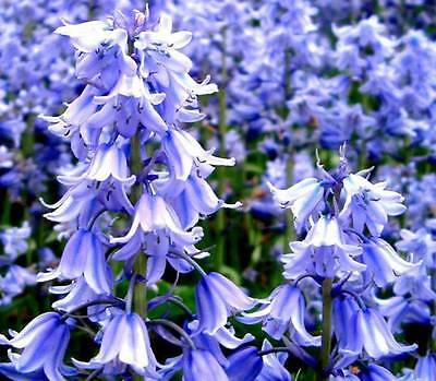 UNIQUE GIFT Flowering size Bluebell plant Double or Triple growths from a bulb
