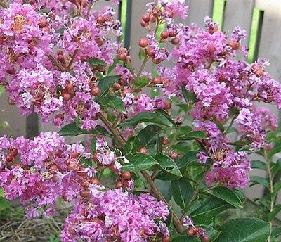 Lagerstroemia indica Lipan (CREPE MYRTLE) in 75mm supergro tube