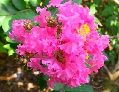 Lagerstroemia indica Sioux (CREPE MYRTLE) in 75mm supergro tube