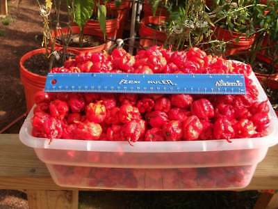 25+ World's Hottest HP22B Carolina Reaper Hot Pepper Seeds-R 080