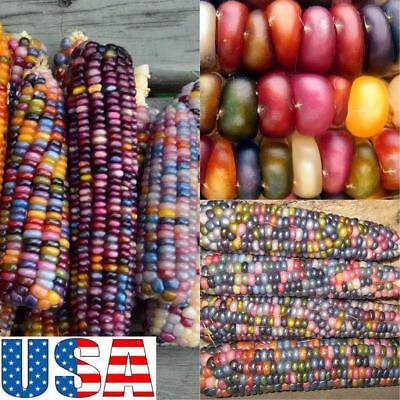 (Grow Your Own)Glass Gem Corn 25 seeds HEIRLOOM NON GMO