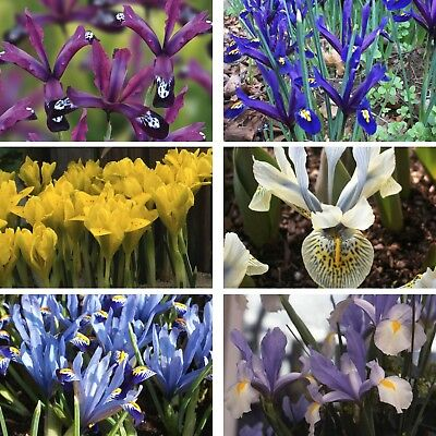 Iris Bulbs Perennial Spring Flowering Garden Flower Plant Bulbs Irises