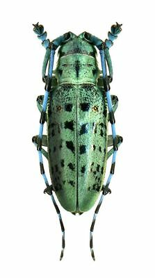 Taxidermy - real papered insects : Cerambycidae : Anoplophora beryllina PAIR