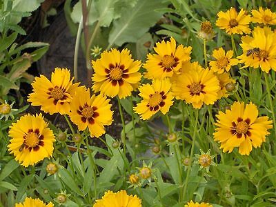 Coreopsis Baby Gold in 50mm forestry tube perennial cottage plant