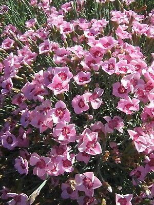 Dianthus deltoides form in 50mm forestry tube perennial plant