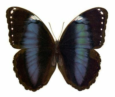 Taxidermy - real papered insects : Morphini : Morpho trojana missiones