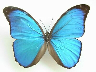 Taxidermy - real papered insects : Morphini : Morpho anaxibia