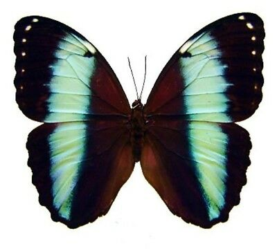 Taxidermy - real papered insects : Morphini : Morpho achilles amazonicus
