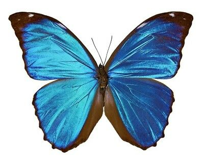 Taxidermy - real papered insects : Morphini : Morpho menelaus BIG