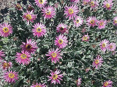 Arctotis hybrid pink and yellow (african daisy)bare rooted clump perennial plant