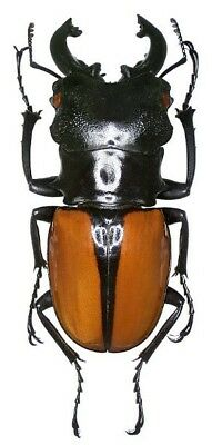 Taxidermy - real papered insects : Lucanidae : Odontolabis ludekingi 65mm