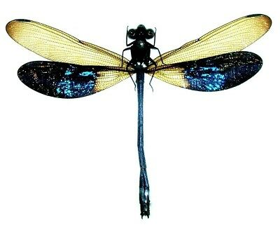 Taxidermy - real papered insects : Odonata : Euphaea tricolor