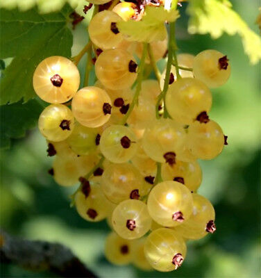 Yellow currant  (Smorodina zholtaya) Seeds Berries Seed