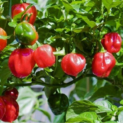 Chilli HABANERO RED 10 Seeds VERY HOT Chili Pepper SPICY SPICES Vegetable Garden