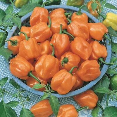 Chilli HABANERO ORANGE 10 Seeds VERY HOT Chili Pepper SPICY EASY GROW Vegetable