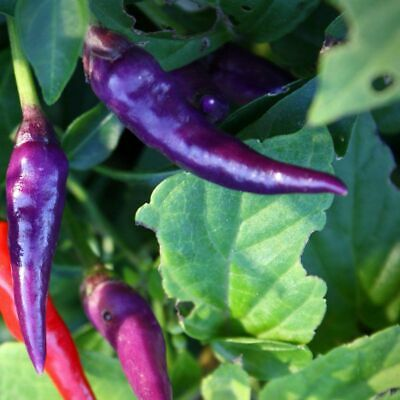 CHILLI 'Cayene Lilac' 30 Seeds VERY HOT Purple, Attractive & Highly Productive