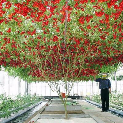 TOMATO GIANT TREE 10+ Seeds HEIRLOOM Vegetable Garden LONG PERIOD HEAVY YIELD