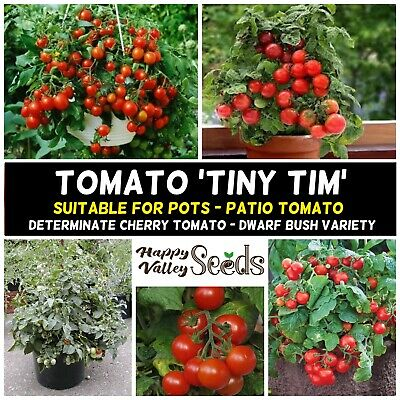 TOMATO 'TINY TIM' 25+ seeds, HEIRLOOM cherry tasty very productive for POTS