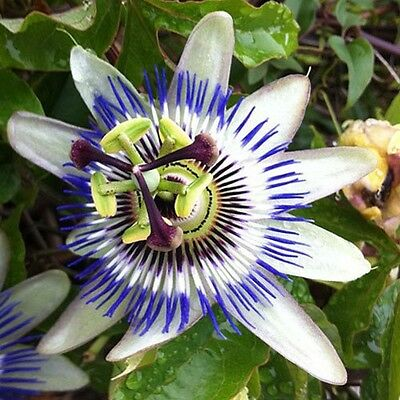 """12"""" Young plant / seedling Passion Flower / Passion Vine / Passiflora caerulea"""