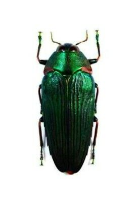 Taxidermy - real papered insects : Buprestidae : Colobogaster resplendens 40mm