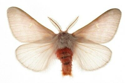 Taxidermy - real papered insects : Saturnidae : Hemileuca hualapai