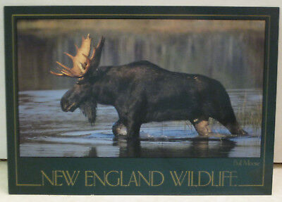 Bull Moose in Vermont New England Wildlife Postcard