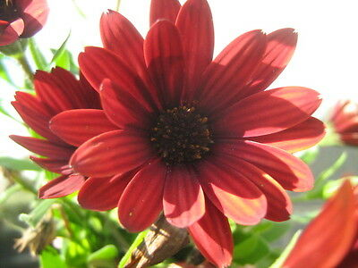 Osteospermum ecklonis red (African daisy)in 50mm forestry tube