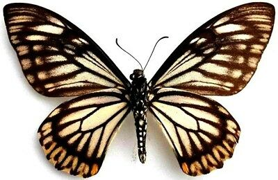 Taxidermy - real papered insects : Papilionidae : Chilasa osmana