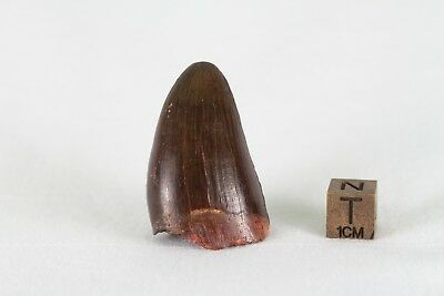 Sarcosuchus cocodrile tooth fossil