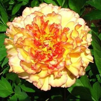 mixed color 20seeds/bag Flower seeds potted peony flower seeds garden balcony ea