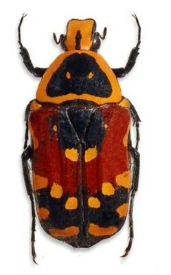 Taxidermy - real papered insects : Cetonidae : Euchroea aurostellata
