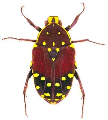 Taxidermy - real papered insects : Cetonidae : Euchroea histrionica