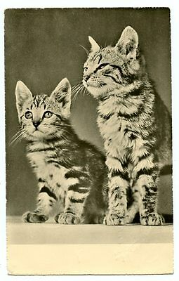vintage cat postcard real photo gorgeous tabby cats kittens pair