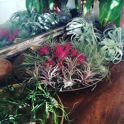 Set of ten air plants, tillandsia collection
