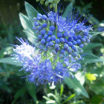Caryopteris 'Grand Bleu' -