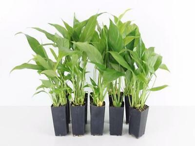 10-100 Plants Spathiphyllum Petite Topical Indoor Plants Pots Peace Lily