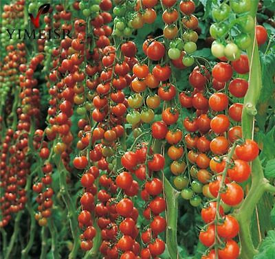50pcs/Big red Cherry tomato sweet Tomatoe Vegetable Seeds plants organic vegetab