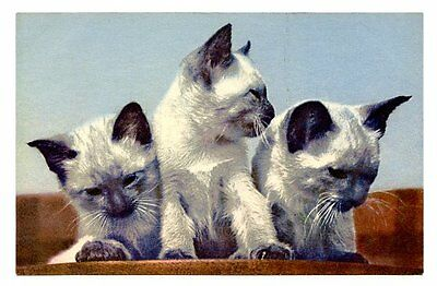 vintage cat postcard adorable trio siamese cats kittens